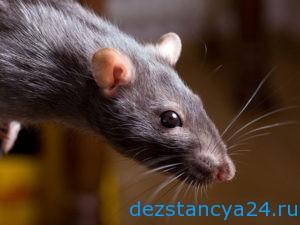 Какие болезни передаются человеку от наличия в доме грызунов