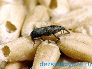 Уничтожение жука долгоносика